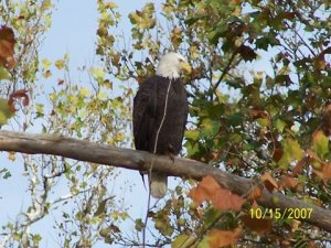 Eagles are a more common sight along the entire 117 miles of French Creek.