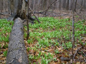 Leeks, or ramps, emerge in the early spring and only last for several weeks,