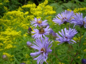 Goldenrods and wil, purple asters bloom togther in September and October in one of the best free flower displays in town.