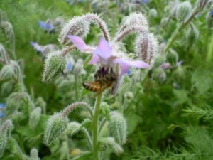 boragebee